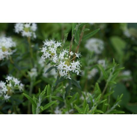 Ledum palustre subsp. groenlandicum