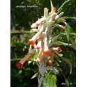 Buddleja longiflora
