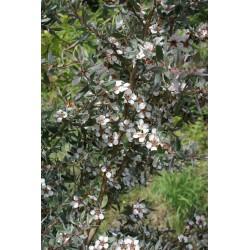 Leptospermum lanigerum 'Silver Sheen'