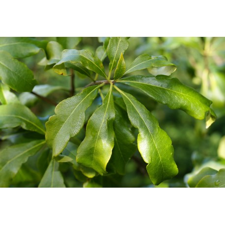 Pittosporum brevicalyx