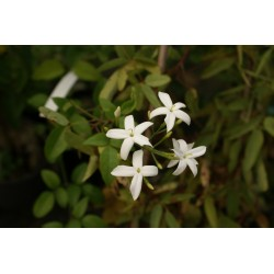 Jasminum azoricum