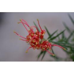 Grevillea juniperina 'Prostate Red'