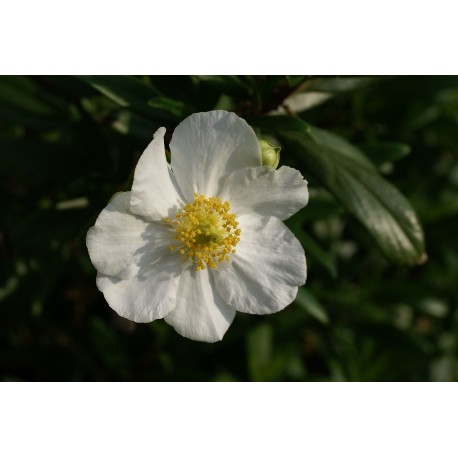 Carpenteria californica 'Bobnant'