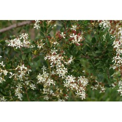 Bursaria spinosa