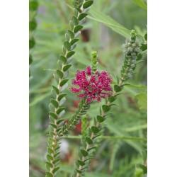 Beaufortia sparta