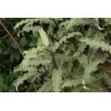 Olearia ilicifolia