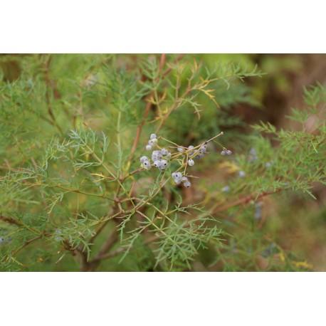 Polyscias sambucifolia 'Multifida'