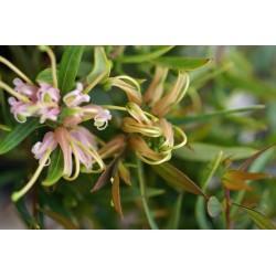 Grevillea 'Forest Rambler'