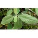 Garrya laurifolia subsp. macrophylla