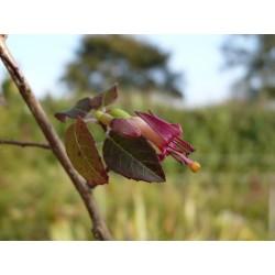 Fuchsia colensoi