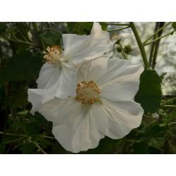 Corynabutilon (Abutilon) vitifolium 'Album'