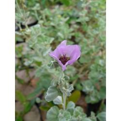 Sphaeralcea obtusifolia
