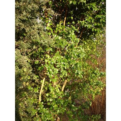 Xylosma japonica