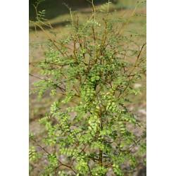 Sophora chathamica