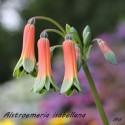 Alstroemeria isabellana