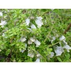 Lepechinia chamaedryoides