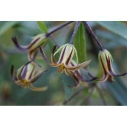 Pittosporum pimeleoides
