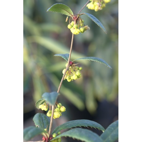 Berberis honanensis