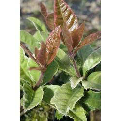 Ardisia japonica 'Variegata'