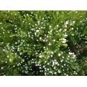Diosma ericoides 'Pink Fontain'