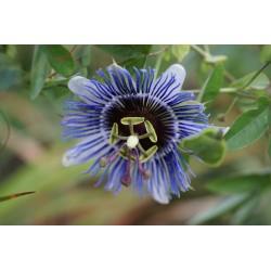 Passiflora 'Incense'