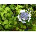 Hydrangea serrata 'Chishima'