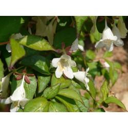 Abelia (Diabelia) spathulata