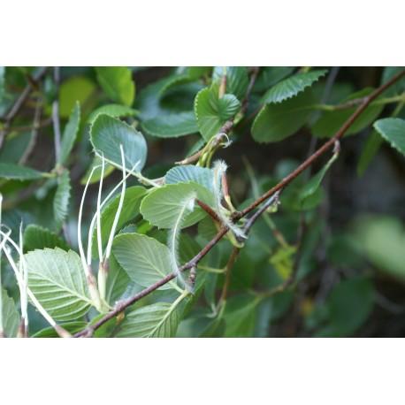 Cercocarpus montanus var glaber