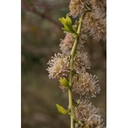 Ercilla spicata (volubilis)