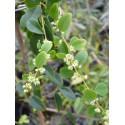 Berchemia polyphylla