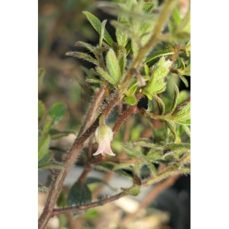Diospyros pubescens (austroafricana)