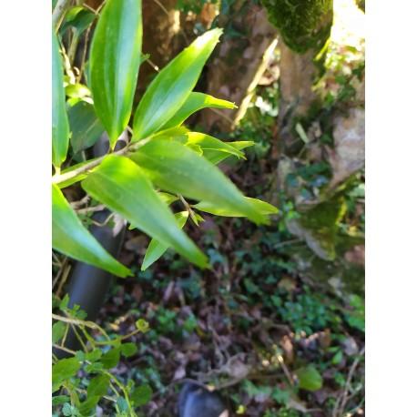 Griselinia ruscifolia