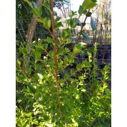 Griselinia jordinifolia