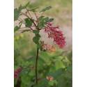 Ribes x gordianum
