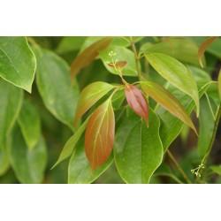 Cinnamomum porrectum