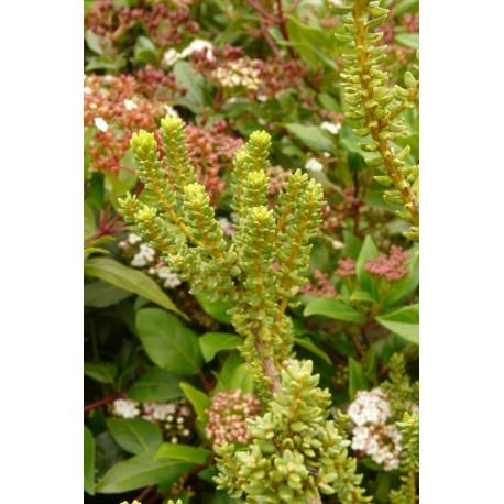Olearia nummulariifolia
