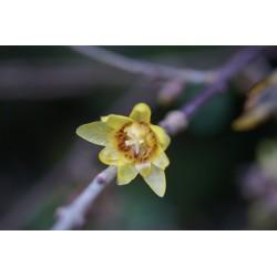 Chimonanthus praecox 'Yunnanensis'
