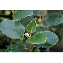 Brachyglottis rotundifolia