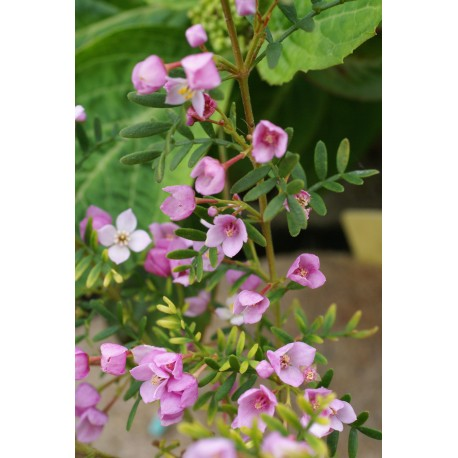 Boronia muelleri 'Sunset Serenade'