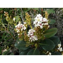Rhaphiolepsis umbellata f. ovata