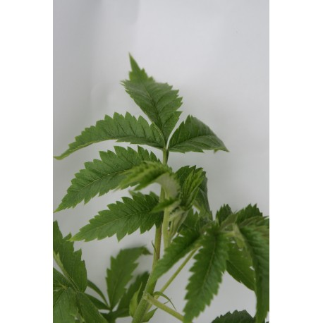 Melianthus comosus