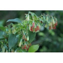 Vaccinium padifolium