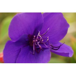 Tibouchina urvilliana