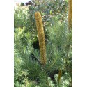 Banksia 'Giant Candles'
