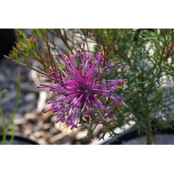 Isopogon formosus
