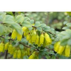 Agapetes smithiana