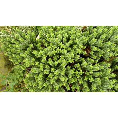 Hebe buxifolia 'Nana'