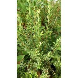 Myrceugenia chrysocarpa