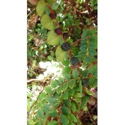 Gaultheria hispidula