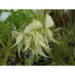 Clianthus puniceus 'Alba'
